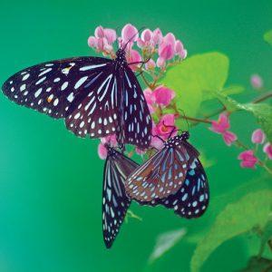 سرود نان و پروانه